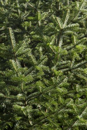 picea: Spruce, Picea Stock Photo