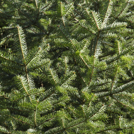 winterly: Spruce, Picea Stock Photo