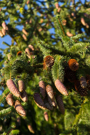 pinaceae: European spruce, Picea abies Stock Photo