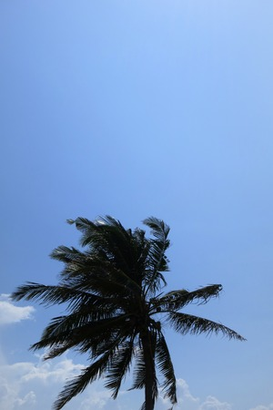 gusty: Coco palm in Inhambane, Mozambique, Africa