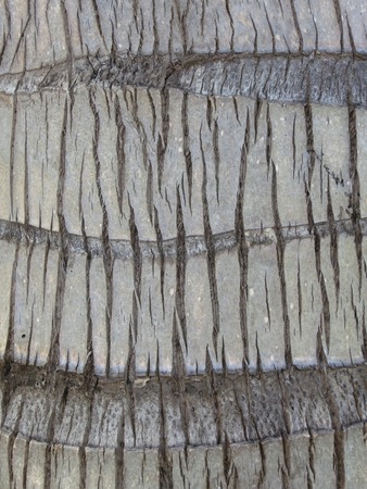 cocos nucifera: Coco palm, Cocos nucifera