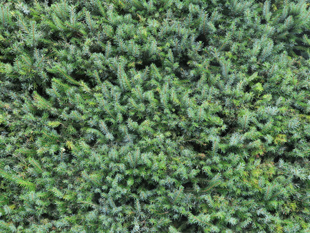 hedge plant: Conifer
