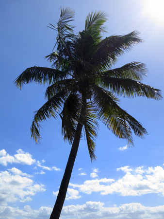 tropical tree: Coco palm in Inhambane, Mozambique, Africa