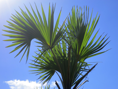 southern africa: Leaves of a palm tree Lala. Barra beach, Inhambane Province, Mozambique, Southern Africa Stock Photo