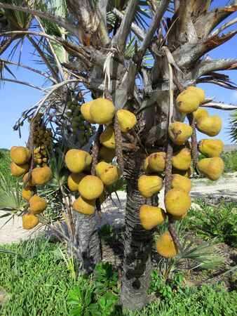 southern africa: Fruits of the Lala palm. Vegetable ivory. Barra Beach, Inhambane Province, Mozambique, Southern Africa Stock Photo
