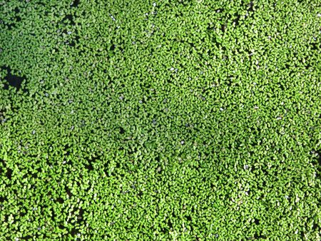 duckweed: Duckweed in a pond. Inhambane, Mozambique, Southern Africa Stock Photo
