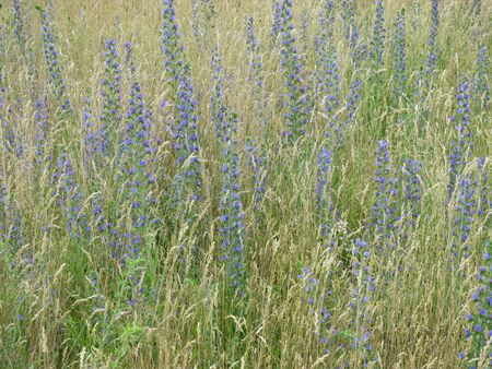 citypark: Blueweed in a meadow of the city-park Rehberge Park. Berlin, Germany, Europe