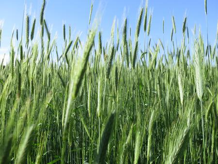 secale: Green rye field in Wendland, Lower Saxony, Germany, Europe