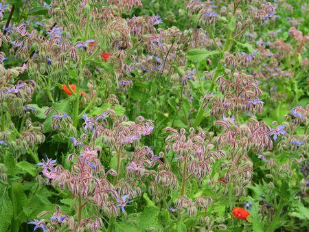 Borage plants in a herb garden. Wendland, Germany, Europe Stock Photo
