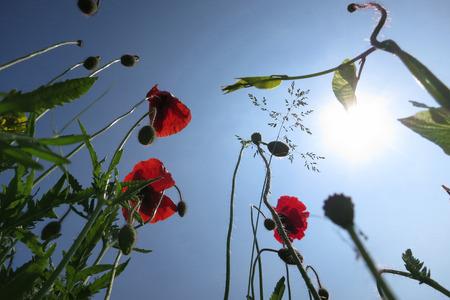 spermatophytina: Poppy in a garden. Wendland, Germany, Europe Stock Photo