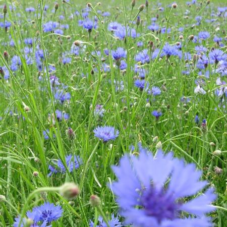 Blue cornflowers in a rape field in Wendland, Germany, Europe Stock Photo