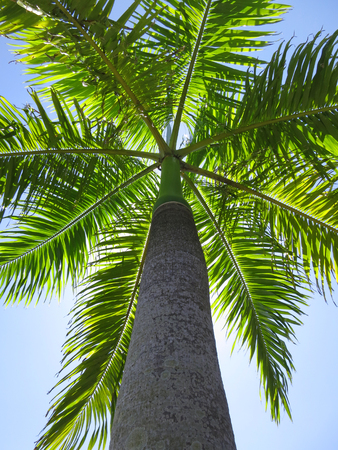 Royal palm in Inhambane, Mozambique, Southern Africa Stock Photo