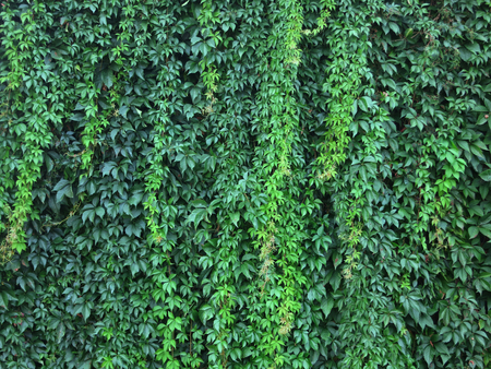 leaves green: Wall with green leaves of a climbing plant. Wendland, Germany, Europe
