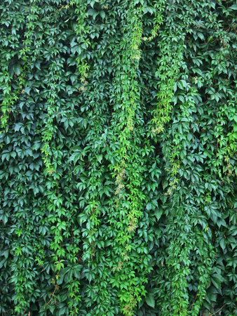 climbing plant: Wall with green leaves of a climbing plant. Wendland, Germany, Europe
