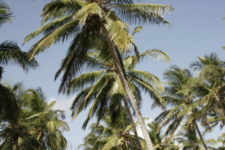 Coconut palms in Rio Savane. Sofala, Mozambique, Southern Africa