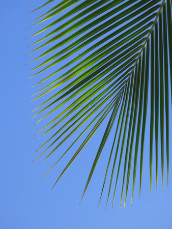 is cloudless: Leaf of a coco palm and cloudless, blue sky. Barra, Inhambane, Mozambique, Southern Africa