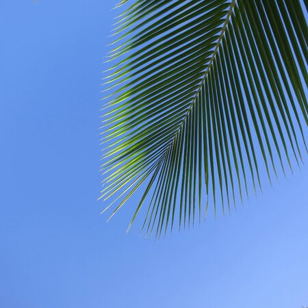 Leaf of a coco palm and cloudless, blue sky. Barra, Inhambane, Mozambique, Southern Africa