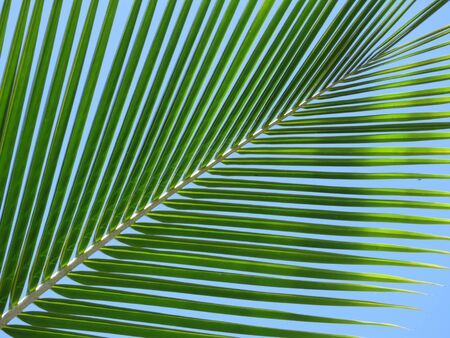 is cloudless: Leaf of a coco palm and cloudless, blue sky. Inhambane, Mozambique, Southern Africa