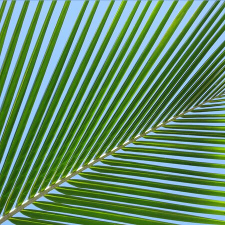 Leaf of a coco palm and cloudless, blue sky. Inhambane, Mozambique, Southern Africa