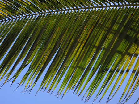 Leaf of a coco palm Stock Photo