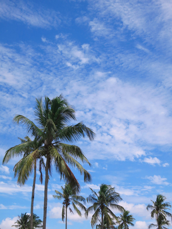 Coconut palms with blue sky and cumulus clouds. Inhambane province, Mozambique, Southern Africa Stock Photo