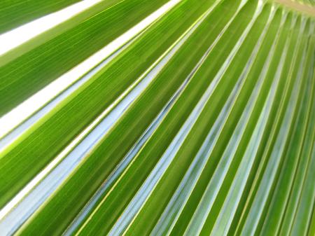 linga: Texture of a coco palm leaf. Linga Linga, Inhambane, Mozambique, Southern Africa