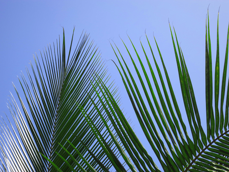 Leaves of a coco palm and cloudless, blue sky. Inhambane, Mozambique, Southern Africa Stock Photo