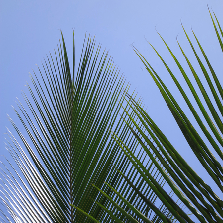 is cloudless: Leaves of a coco palm and cloudless, blue sky. Inhambane, Mozambique, Southern Africa Stock Photo