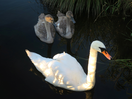 Swan mother with two children at a pond. Soier See, Bad Bayersoien, Garmisch, Bavaria, Germany, Europe Stock Photo - 60390038