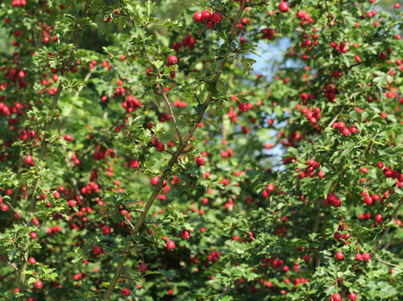 Red whitethorn fruits and leaves at a tree during autumn. Germany, Europe Stock Photo - 64057126