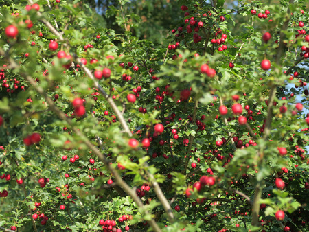 Red whitethorn fruits and leaves at a tree during autumn. Germany, Europe