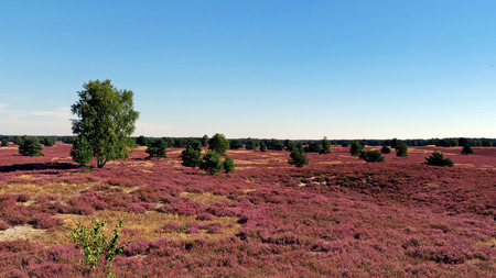Landscape with pink blossoms of Erica, birch and other trees during summer. Stock Photo