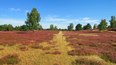 Heather landscape. Nemitzer Heide, Wendland, Lower Saxony, Germany, Europe Stock Photo