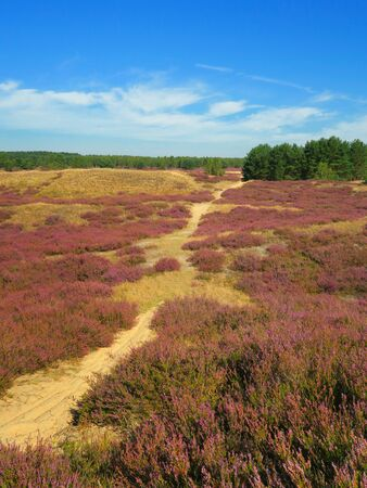 Heather landscape. Nemitzer Heide, Wendland, Lower Saxony, Germany, Europe Stock Photo - 70500571