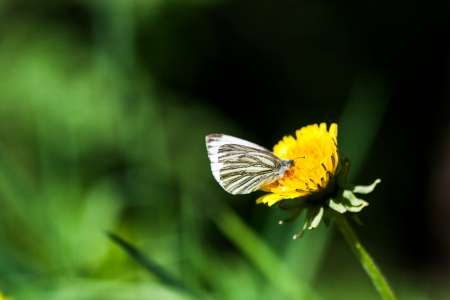 ussuri: dandelions with butterfly in the meadow Stock Photo