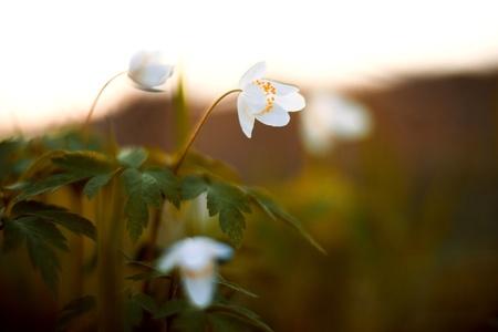 Spring flower - Anemone sylvestris photo