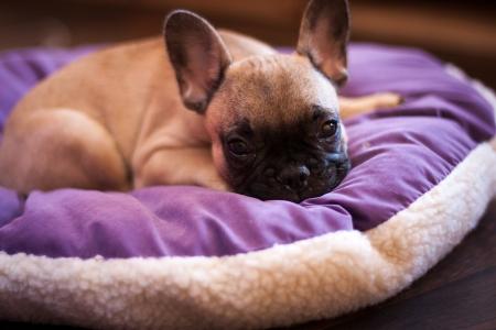 kleine slapende Franse bulldog, puppy Stockfoto