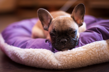 small sleeping French bulldog, puppy photo