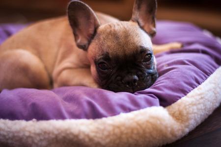 wrinkely: small French bulldog, puppy dog