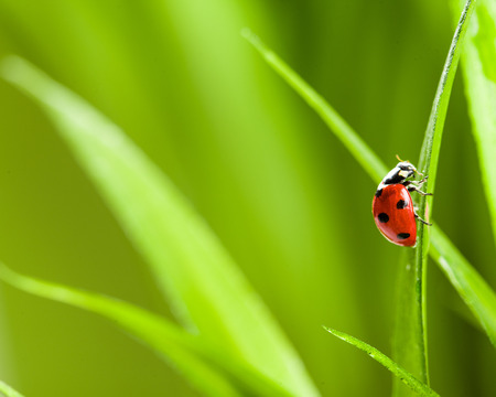 ladybug on leaf: red ladybug on green grass Stock Photo