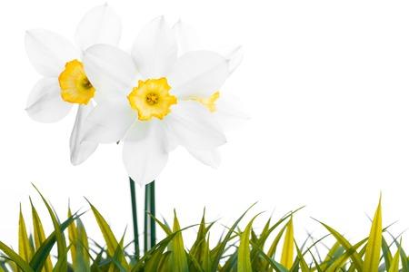 jonquil: White daffodil narcissus jonquil flower plants Stock Photo