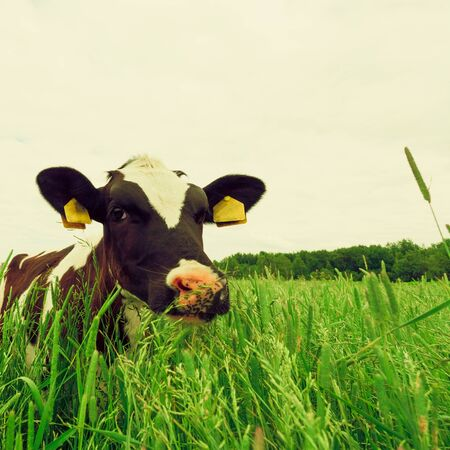 outdoor shot: cow and field of fresh grass. outdoor shot