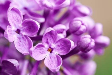 manjar: Hermosa delicadeza primavera flores de color lila. Foto de macro. Foto de archivo