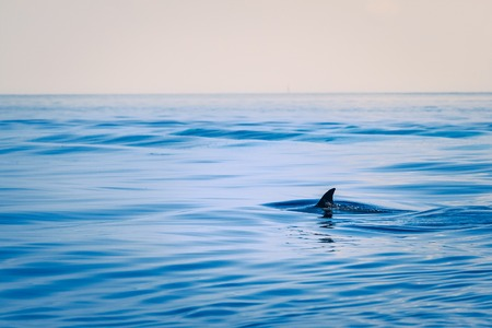 Fin of a shark in the high sea. Outdoor shot
