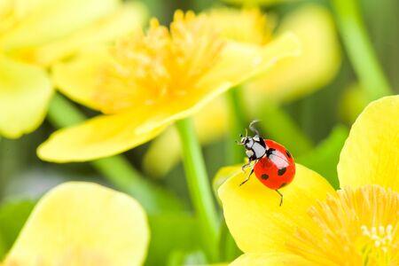 flower ladybug: red ladybug on yellow flower. studio shot