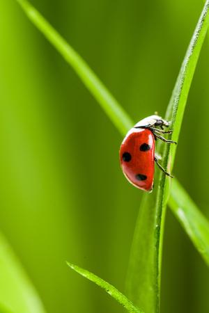 Lieveheersbeestje op groen gras over Green Bachground. studio-opname Stockfoto