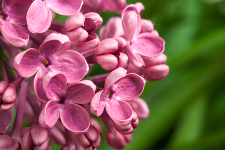 manjar: Beautiful spring delicacy lilac flowers. Macro photo.