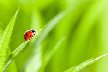 Ladybug on Green Grass Over Green Bachground. studio shot