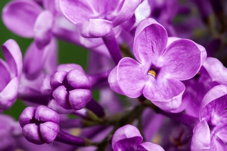 delicacy: Beautiful spring delicacy lilac flowers. Macro photo.