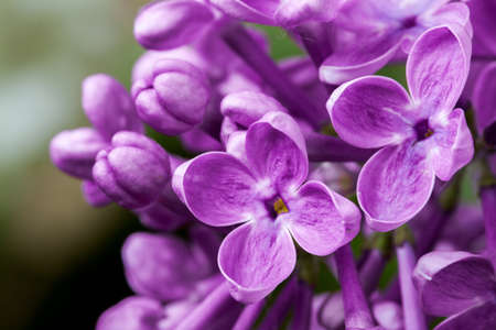 delicacy: Beautiful spring delicacy lilac flowers. Stock Photo